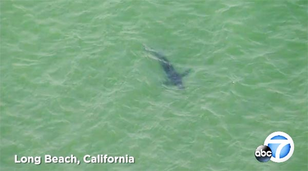 The Surfing Podcast Great White Shark Spotted Long Beach California Video Helicopter
